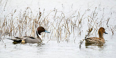 Pintail Pair Poster by Mike Dawson
