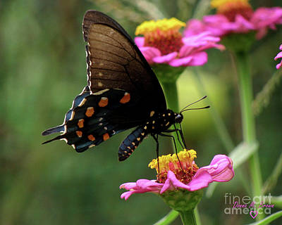 Poster featuring the photograph Pipevine Swallowtail Butterfly by Donna Brown