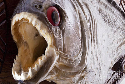 Piranha Fish Close Up Poster by Simon Bratt Photography LRPS
