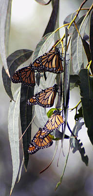 Poster featuring the photograph Pismo Butterflies by Gary Brandes