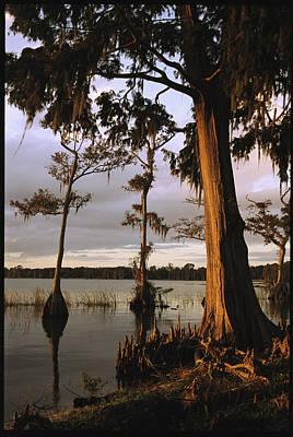 Plantation Gardens, Cypress Trees Poster by Richard Nowitz