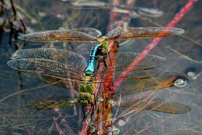 Planting Young Dragonfly Reflections Art Poster by Reid Callaway