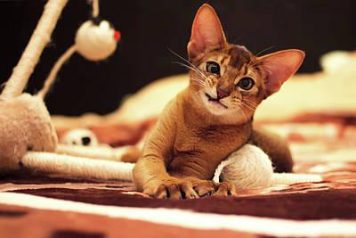 Playful Abyssinian Cat Hunting Toy Mouse Poster by Oksana Bystritskaya
