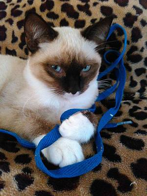 Playful Blue Eyes Siamese Poster by Becky Burt