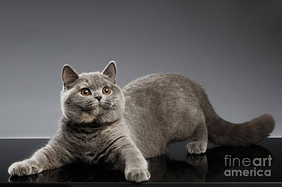 Playful British Cat On Gray Background Poster by Sergey Taran