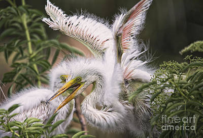 Playful Egret Chicks Poster