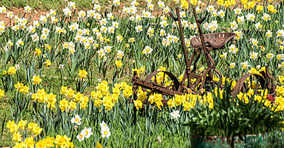Plow In Field Of Daffodils Poster
