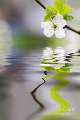 Plum Tree Blooming Poster