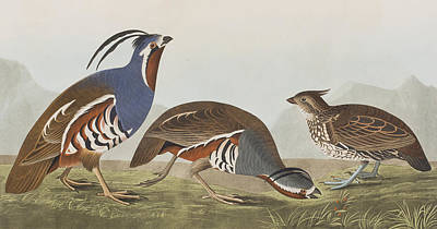 Plumed Partridge Poster
