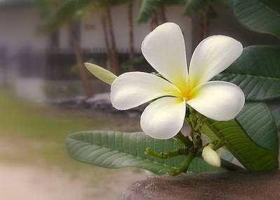 Plumeria Bloom Poster by Cindy Wright