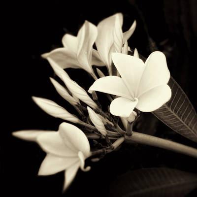 Plumeria Blossoms In Sepia  Poster