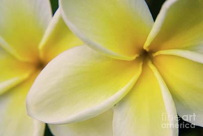 Plumeria Flowers Poster by Julia Hiebaum