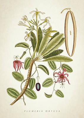 Plumeria Obtusa Botantical Print Poster by Aged Pixel