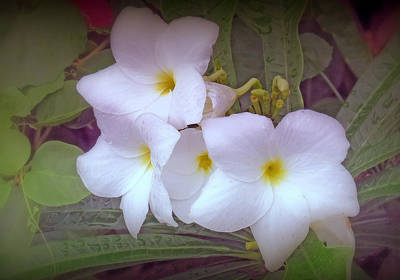 Plumeria Pudica Poster by Kay Novy