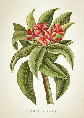 Plumeria Rubra Botanical Print Poster by Aged Pixel
