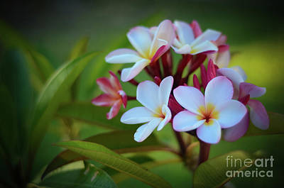 Poster featuring the photograph Plumeria Sunset by Kelly Wade