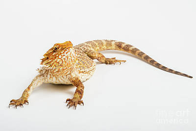 Pogona Isolated Poster