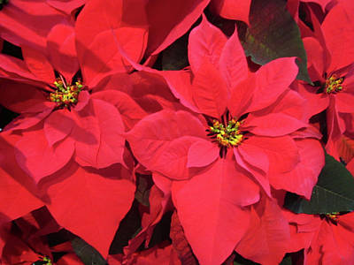 Poinsettias Poster by Sandy Taylor