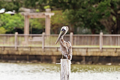 Point Clear Alabama Brown Pelican Poster