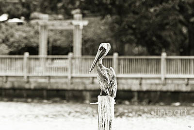 Point Clear Alabama Brown Pelican - Sepia Poster