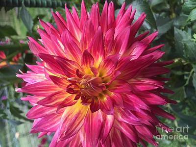 Pointed Dahlia Poster