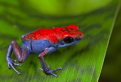poison dart frog Escudo Poster