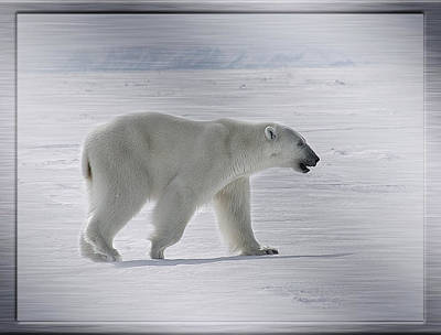 Polar Bear On Steel Poster by Mary Bellew