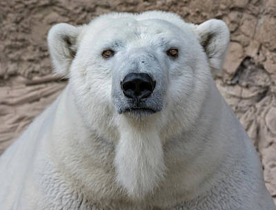 Polar Bear Portrait  Poster