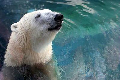 Polar Bear Up Close Poster