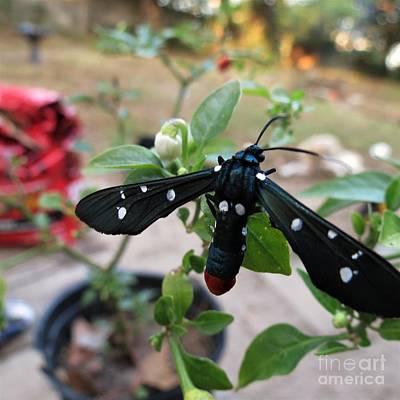 Polka Dot Wasp Moth Poster