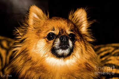 Pomeranian Chihuahua Mix #1 Poster by Julian Starks