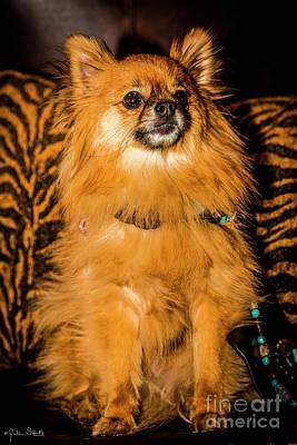 Pomeranian Chihuahua Mix #2 Poster by Julian Starks