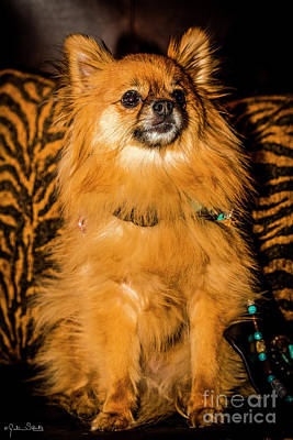 Pomeranian Chihuahua Mix #2 Poster