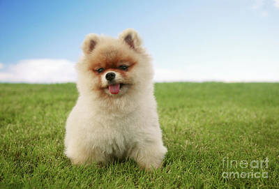 Pomeranian Puppy On Grass Poster by Brandon Tabiolo - Printscapes