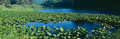 Pond Covered With Lilies Near Highway Poster by Panoramic Images