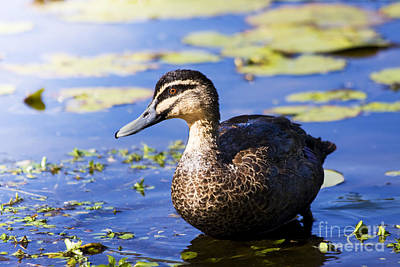 Pond Duck Poster by Jorgo Photography - Wall Art Gallery