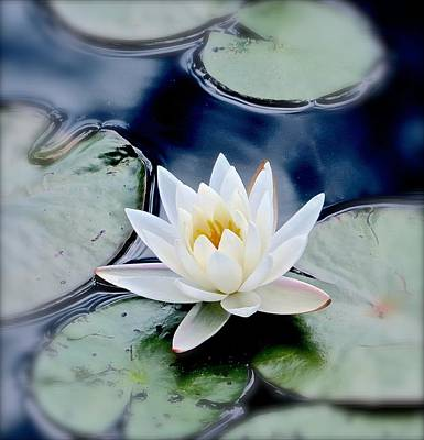 Water Lily Poster by Debbie Auclair