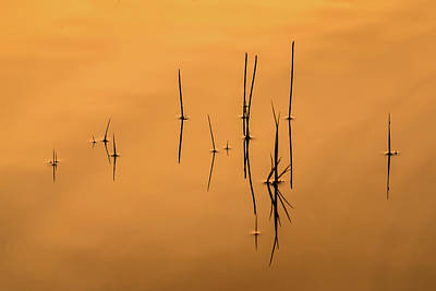 Pond Reeds In Reflected Sunrise Poster