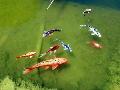 Pond With Koi Fish Poster