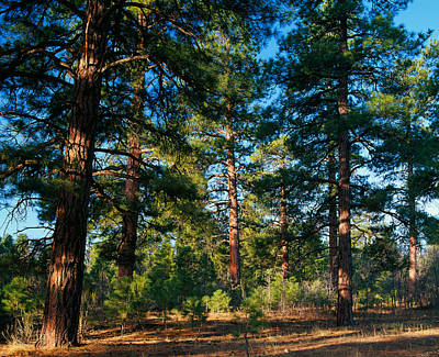 Ponderosa Pine Tree Forest, Kaibab Poster by Panoramic Images