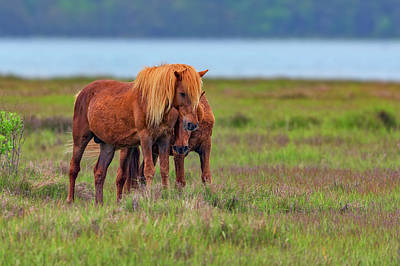 Ponies On Assateague Poster by Rick Berk