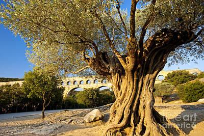 Pont Du Gard Olive Tree Poster