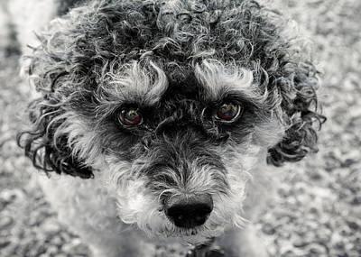 Poodle Eyes Poster