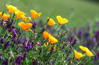 Poppies And Purple Vetch Poster by Kathy Yates