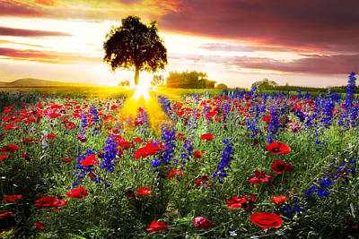 Poppies At Sunset Poster by Debra and Dave Vanderlaan