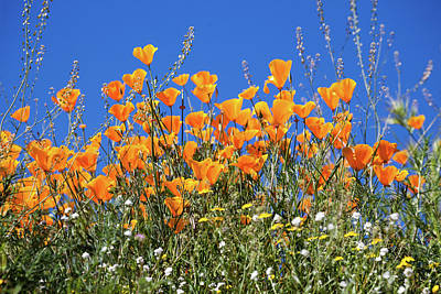 Poster featuring the photograph Poppies From Below by Cliff Wassmann