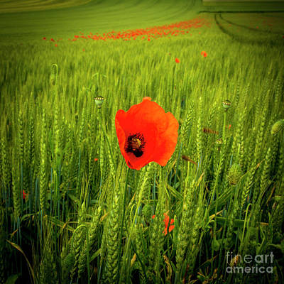 Poppies In A Field Of Wheat. Auvergne. France Poster by Bernard Jaubert