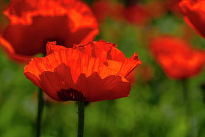 Poppies In A Meadow Poster by Teri Virbickis
