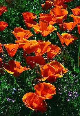 Poppies In Bloom Poster