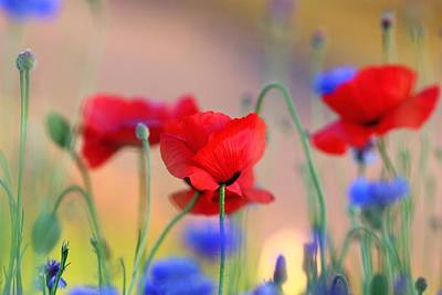 Poppies In Spring  Poster